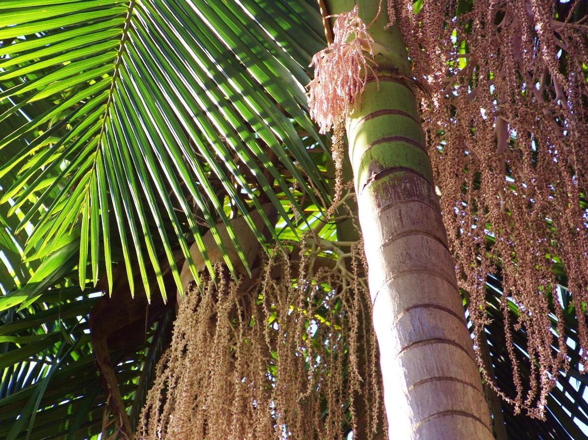 Archontophoenix Piccabeen Palm