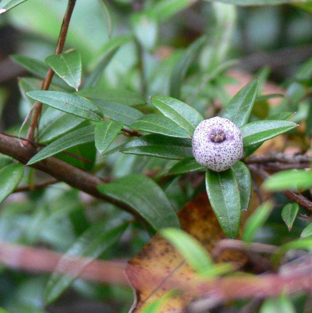 Austromyrtus dulcis fruit close up