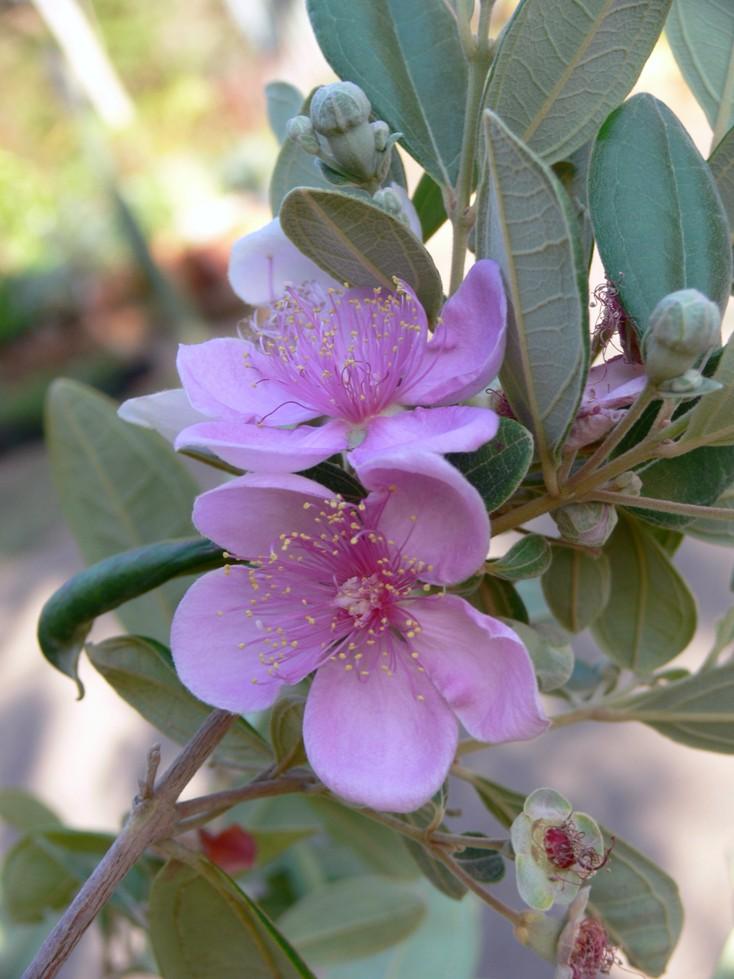 Rhodomyrtus tomentosa in flower